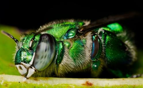 Orchid_Bee_Sleeping_on_Leaf.jpg
